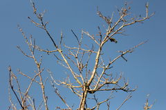 Dry tree under the sky. Dry tree under the clear sky Stock Photography