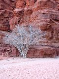 Dry tree in wadi rum Royalty Free Stock Images