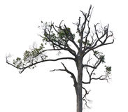 Dry tree on white Stock Photography