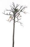 Dry tree on white Royalty Free Stock Image