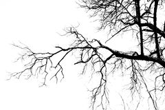 Dry tree. On white background Royalty Free Stock Photography