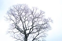 Dry tree with white sky.  Royalty Free Stock Photography