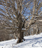 Dry tree between the white snow of the mountain. Dry tree between the white snow royalty free stock photos