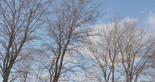 Dry trees against the sky video 4k.  stock video footage