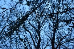 Dry trees and autumn branches in contrast with the blue sunset sky Stock Image