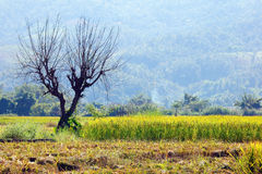 Dry trees in cornfield Royalty Free Stock Images