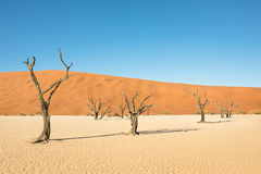 Dry trees in desert crater area at Deadvlei in Sossusvlei Stock Photography