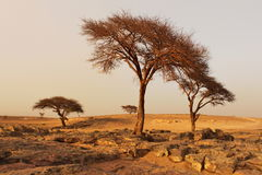 Dry trees on desert after sandstorm. stock image