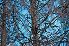 Dry trees. Trees with dried branches with blue sky in the background Royalty Free Stock Photos