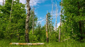 Dry trees in the forest timelapse. Dry birch in the woods, white clouds on a blue sky. TimeLaps stock video