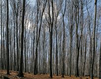 Dry trees in forest. Tress without leaves in dry autumn forest Stock Photos
