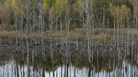 Dry Trees in the Lake. Forest of Dead Trees in the Lake stock video footage