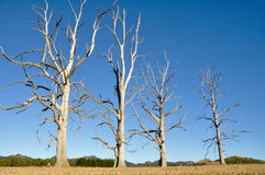 Dry trees, New Zealand Royalty Free Stock Image
