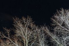 Dry trees at night against the stars.  Royalty Free Stock Image