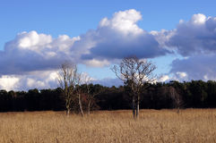 Dry trees on a reed field. Landscape with a reed field, dry trees and background of sky and forest Stock Photos