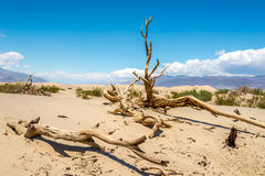 Dry Trees at the Sand Dune Royalty Free Stock Photo