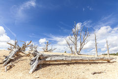 Dry trees on sand dunes, Death Valley desert, USA Royalty Free Stock Photography