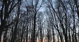 Dry trees in the spring in the evening.  stock footage