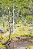 Dry trees and stream, Tierra del Fuego National Park. Ushuaia, Argentina Stock Image