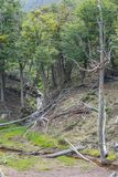 Dry trees and stream, Tierra del Fuego National Park. Ushuaia, Argentina Royalty Free Stock Photo