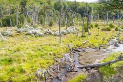 Dry trees and stream, Tierra del Fuego National Park. Ushuaia, Argentina Stock Photography