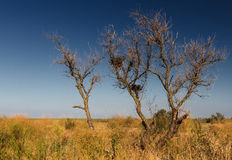Dry trees summer steppe. Summer steppe landscape with an old dry tree, dry grass, blue sky and the horizon line Stock Images