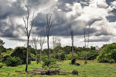 Dry Trees on Swamp Stock Image