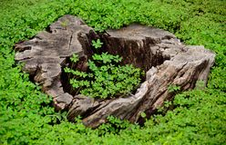 Dry trunk and clovers. Dry trunk of tree with green clovers around Stock Photos