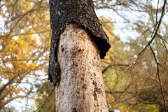 Dry trunk of spruce with exfoliating bark, Diseased fir tree damaged by bark beetle, autumn forest. Dry trunk of spruce with exfoliating bark, Diseased fir tree royalty free stock images