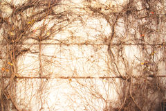 Dry trunks and branches of ivy plant on the wall; Abstract grung Royalty Free Stock Images