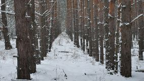 Dry trunks of pine christmas tree tree trunks nature winter forest landscape of wild stock video