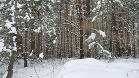 Dry trunks of pine christmas tree tree trunks winter forest landscape of wild nature stock video