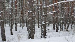 Dry trunks of pine christmas tree winter forest landscape of wild nature stock video footage
