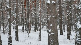 Dry trunks of pine christmas tree winter nature forest landscape of wild stock video