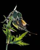 Dry tryckte på blomman på svart Arkivfoton