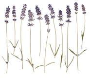 Dry tryckte på lavendel Royaltyfri Fotografi