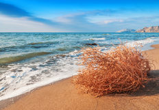 Dry tumbleweed on the beach. Near the sea Royalty Free Stock Image
