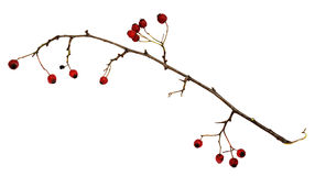 Dry twig with berries Stock Photos