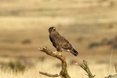 A dry twig with a buzzard Stock Image