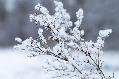 Dry twig covered by fluffy snow Royalty Free Stock Photo