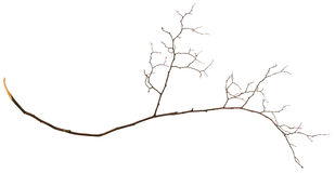Dry twig. Isolated on white Royalty Free Stock Photo