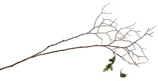 Dry twig with two old leaves. Isolated on white background. Autumn concept Royalty Free Stock Image