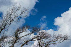 Dry twigs with the blue sky. Dry twigs with the white cloud and blue sky Royalty Free Stock Photo