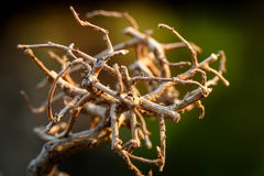 Dry twigs. Of Thailand Royalty Free Stock Photos