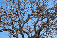 Dry twigs twisted. Of a tree. It looks like nerve synapses. It can be used as background Stock Photo