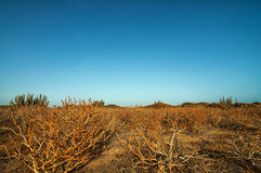 Dry Twisted Plants. Dry vegetation in a desert set against a beautiful blue sky Stock Image