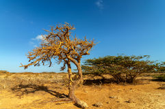 Dry Twisted Tree in a Desert Royalty Free Stock Images