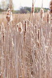 Dry typha spikes with fluff Stock Photo
