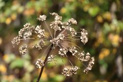 Dry umbellate inflorescence on a blurred background / Abstraction / Stock Photography