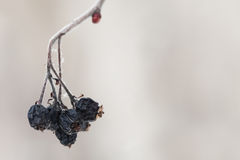 Dry up black berries on the branch. Stock Images